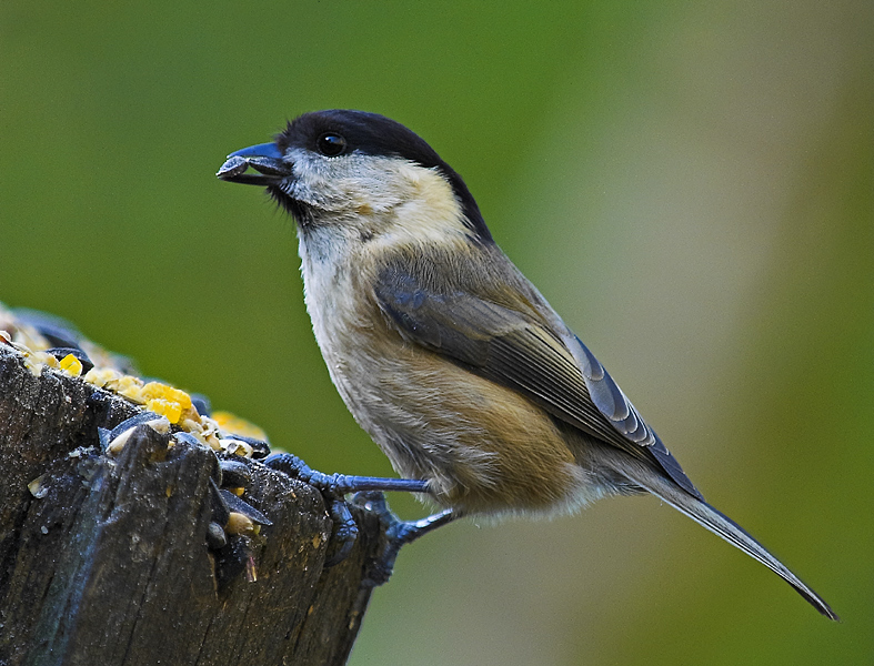 A Greedy Willow Tit