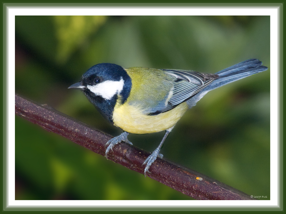 Great Tit (6)