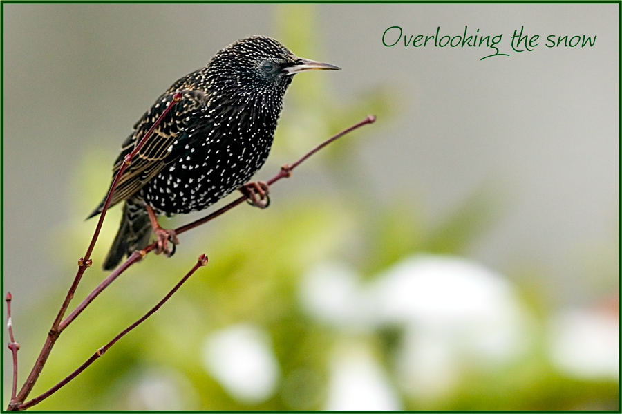Starling overlooking the last snow
