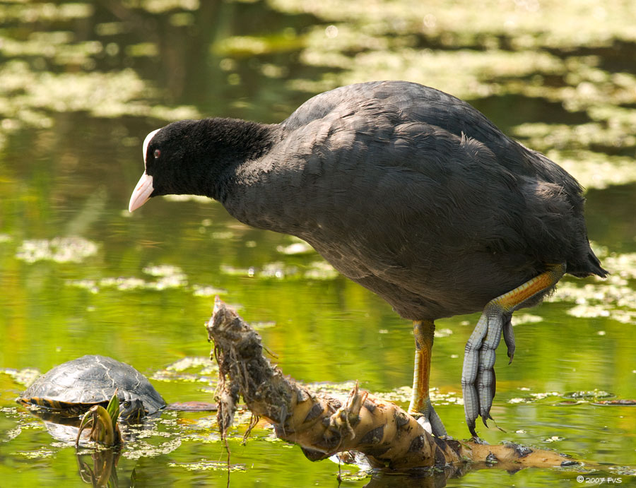 Coot and Turtle