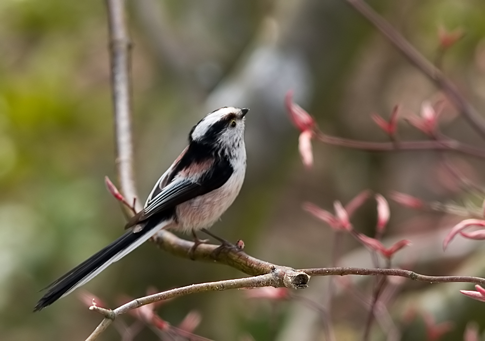 Long Tailed Tit (8)