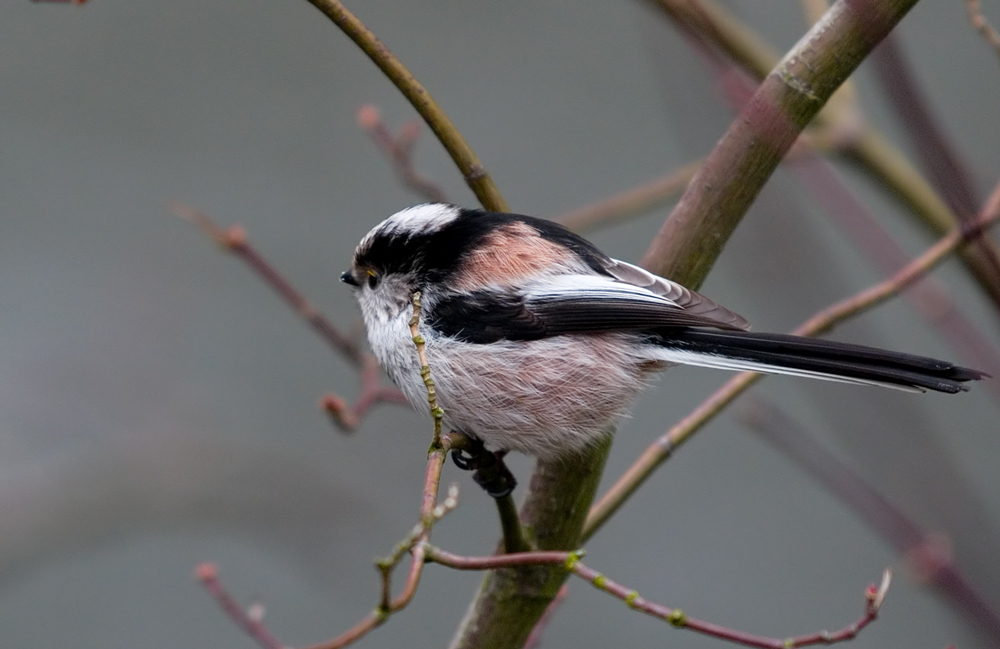 Long Tailed Tit (1)