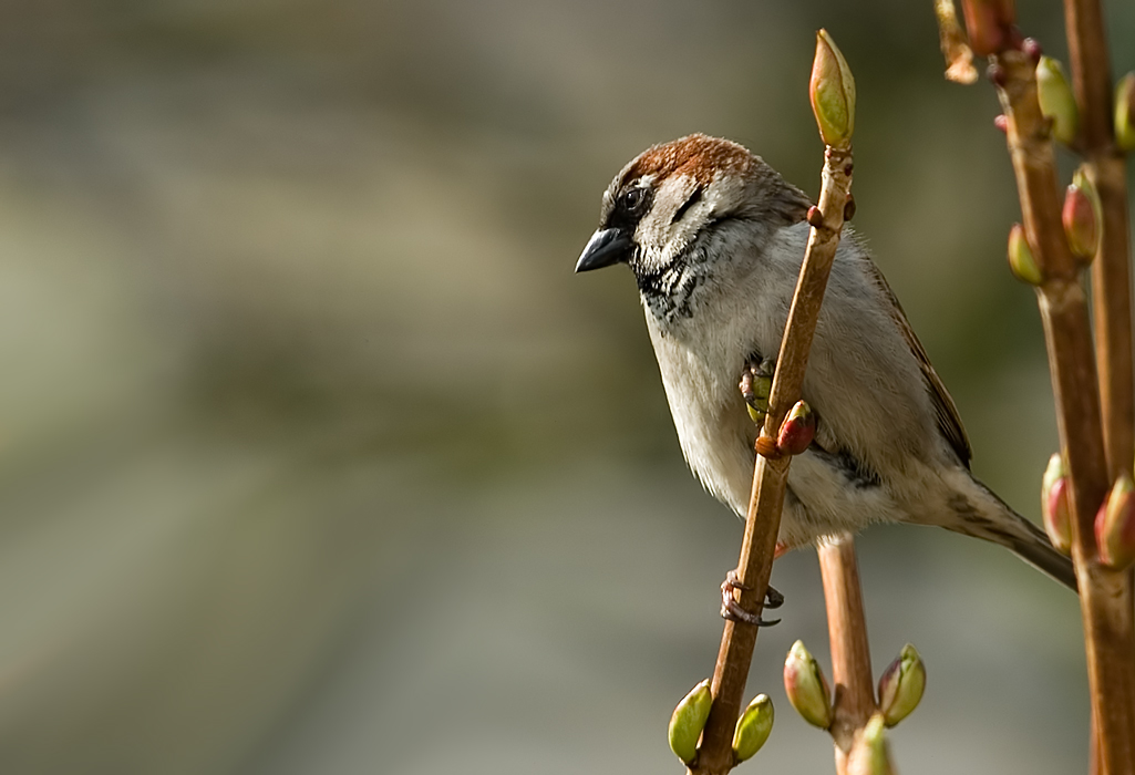 House Sparrow on a twig