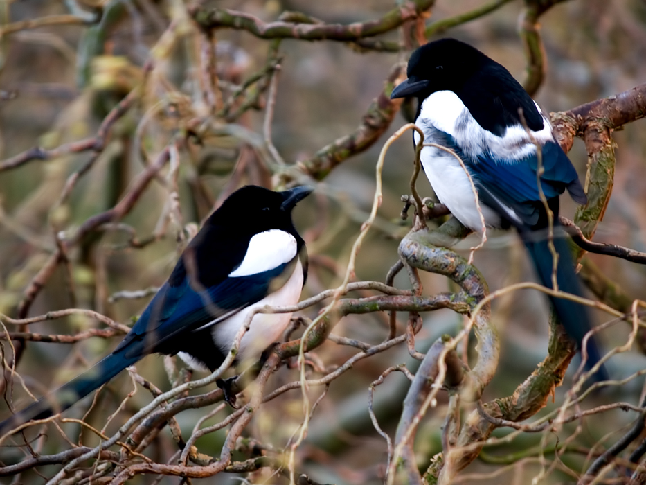Magpie's high up in a tree