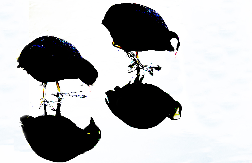 Coot Reflections