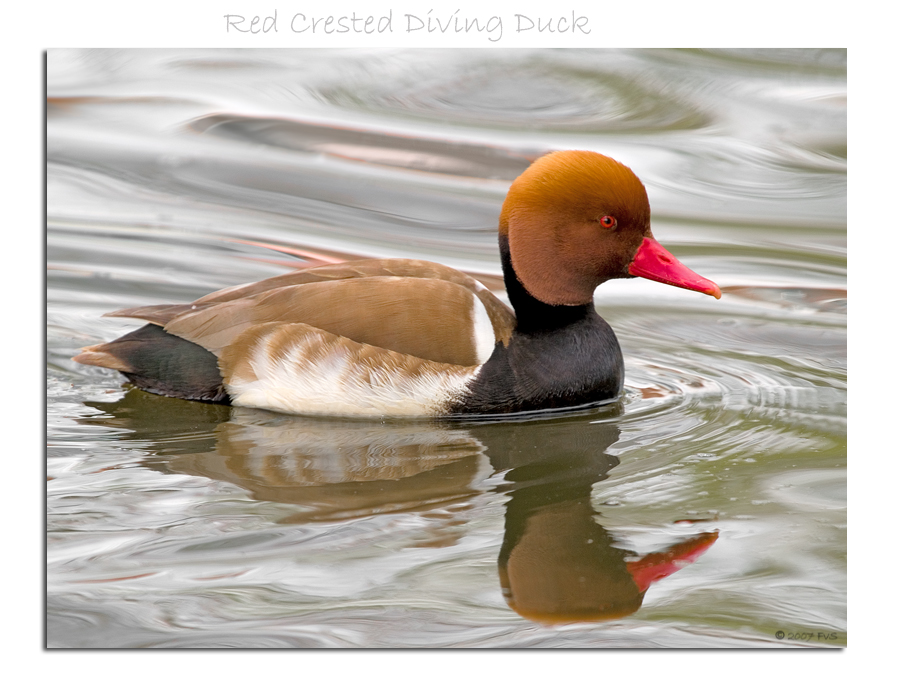 Red Crested Diving Duck