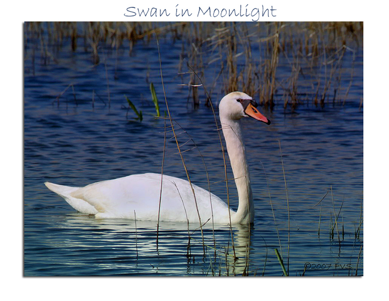 Swan in Moonlight