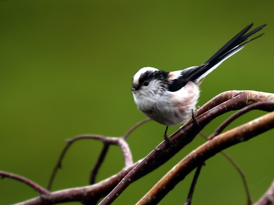 Long Tailed Tit (2)