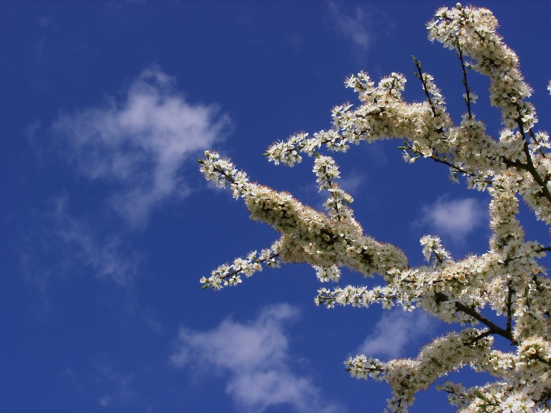Blackthorn (3)